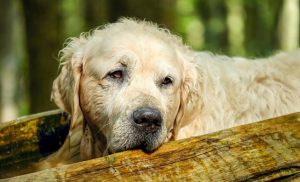 Cognitive Dysfunction and Your Dog